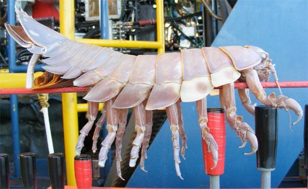 seabug1