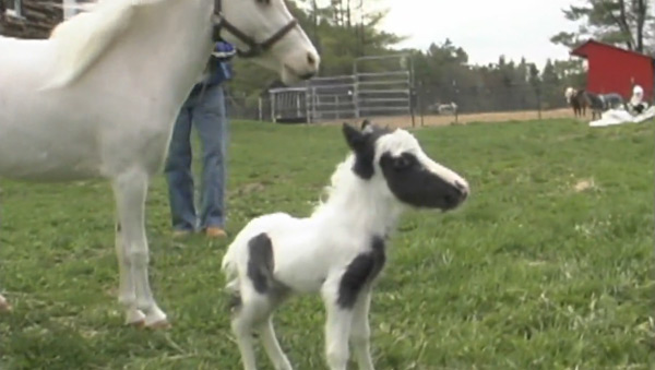 The smallest horse in the world ever - photo#28