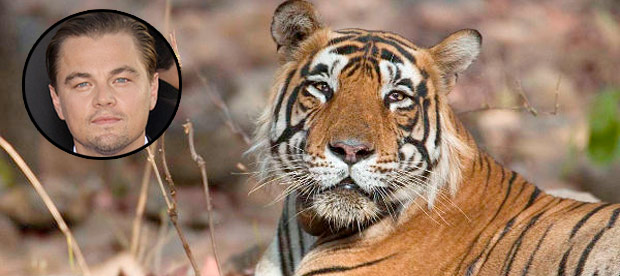 dicaprio-tigers