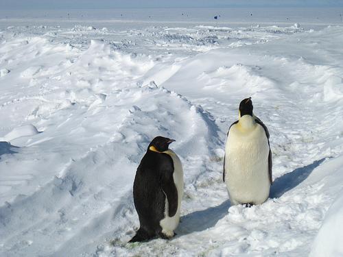 Antarctica: McMurdo / Emperor Penguins