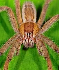 banana-spider
