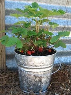 fraise du bois