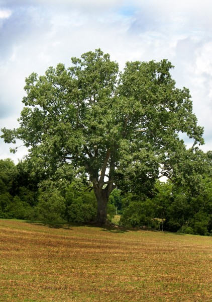 oak-tree-422x600