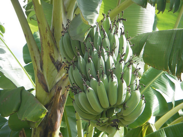 Bananas is one of the amazing plants of the rainforest