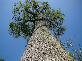 The Brazil nut tree grows tall in the rainforest