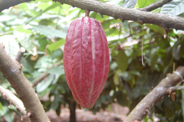 Cacoa another word for chocolate is grown in the rainforest