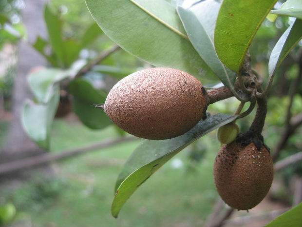 Sapodilla grows in the rainforest and can make gum