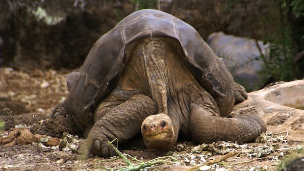 extinct tortoise rediscovered through genome in Galápagos Islands