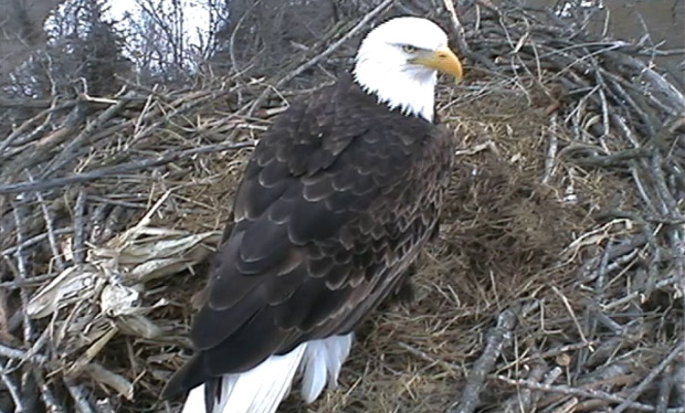 A shot from the live Decorah Eagle Camera