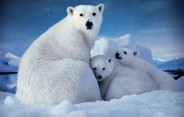 """Meryl Streep will narrate """"To the Arctic"""" a new documentary about polar bears at the top of the world."""