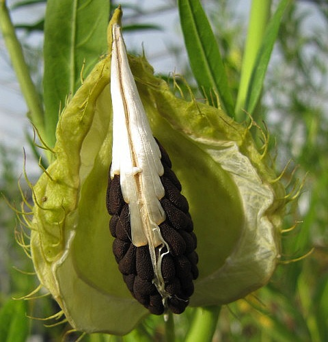 balloonplant, balloon cotton-bush, swan plant seeds