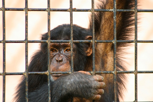 Rescued lab chimps feel freedom for the very first time at Save The Chimps