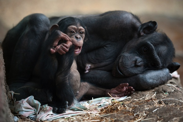 Stars ask Congress to end chimp testing by passing the Great Ape Protection and Cost Savings Act