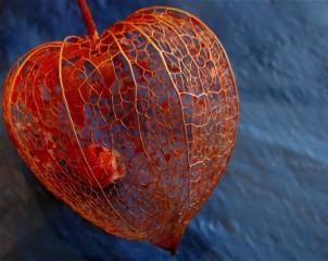 chinese lantern seed