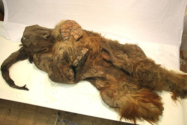woolly mammoth discovered in siberia