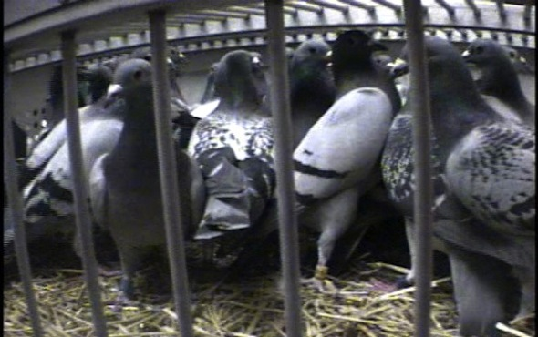 Pamela Anderson tweets a link to photos of PETA's undercover investigation of pigeon-racing
