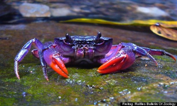 purple crab species discovered in philippines