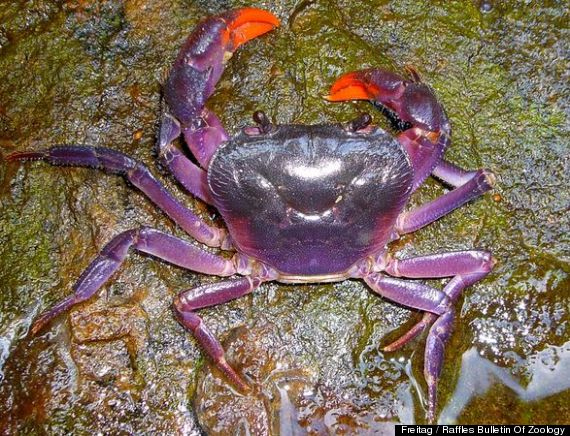 New species of purple crab discovered in the Philippines