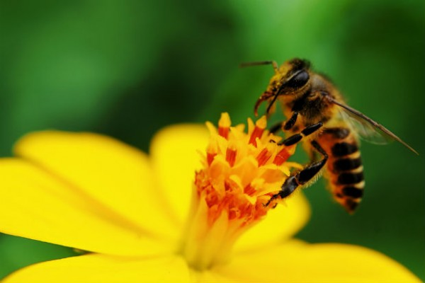 Bee Population Dwindling