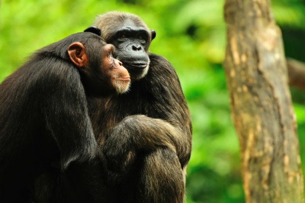 Bob Barker's $230,000 donation to Chimp Haven will provide a home and care for five HIV-infected chimps.