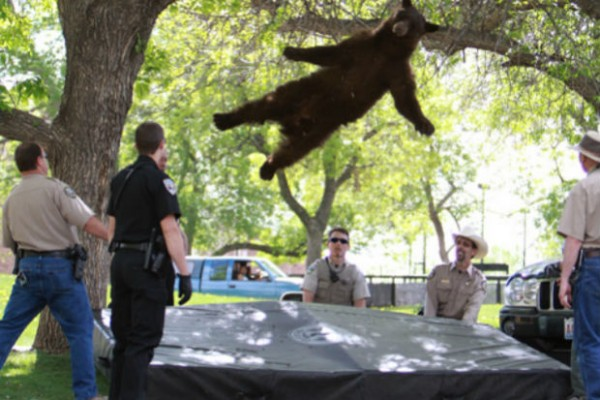 Famous Colorado bear that fell from tree was struck and killed by two cars