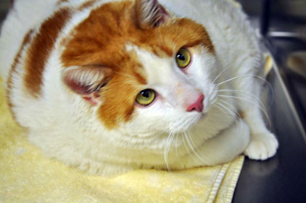 Meow, the 39-pound cat, dies after battle with obesity