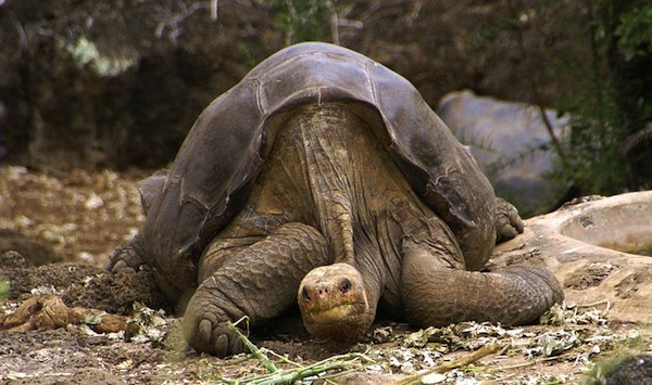 Lonesome George, the last remaining La Pinta Galapagos tortoise, died at age 100.