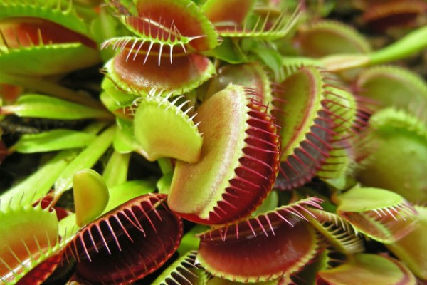 Carnivorous plants in Swedish bog going vegetarian due to nitrogen pollution
