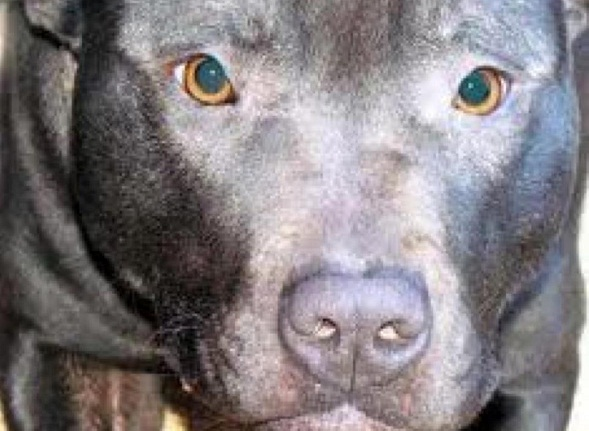 Lennox has been put to sleep despite years of global pleas to the Belfast City Council and offers to relocate him to U.S. rescues