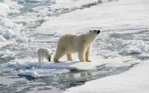 polarbearandcub