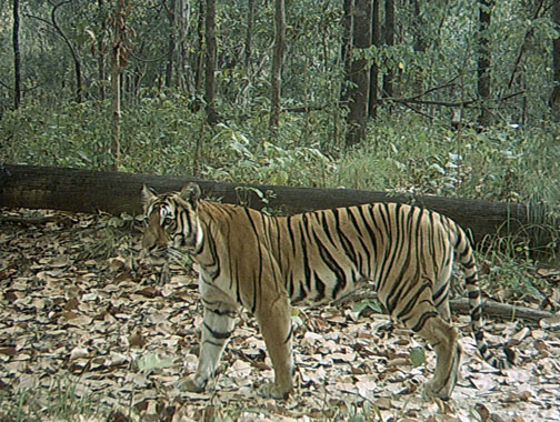 Photo captured by WWF camera traps in Nepal. www.worldwildlife.org
