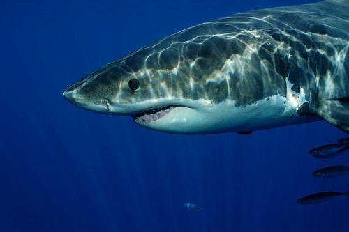 greatwhiteshark