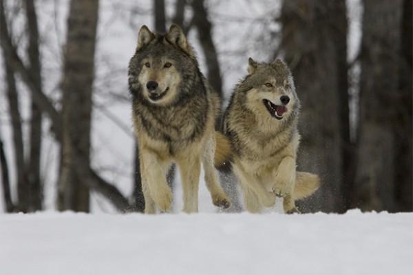 gray wolf pack washington state