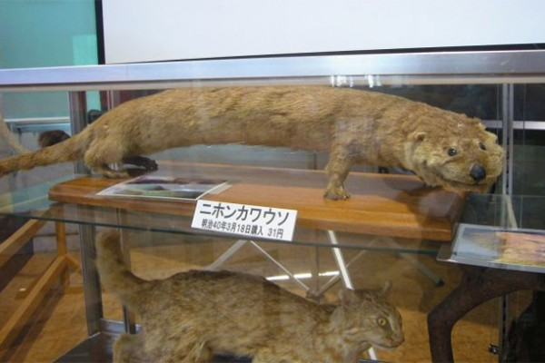 japanese river otter extinct