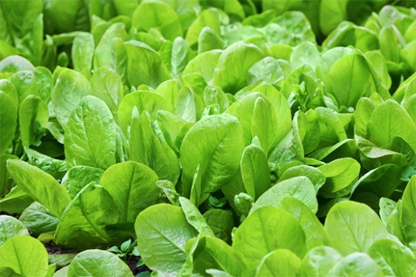 spinach combined with solar cells