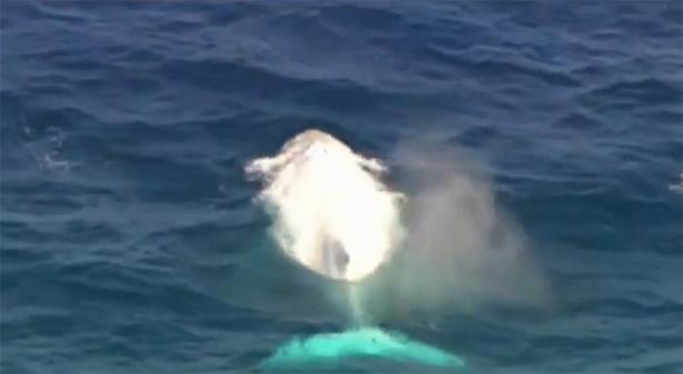 albino whale migaloo