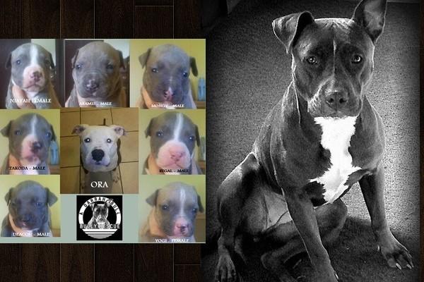 pit bulls poisoned