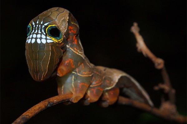 skull-caterpillar