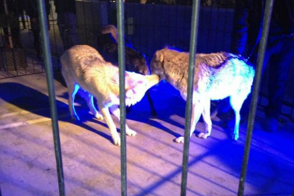 Wolf pack put on display at 'Breaking Dawn - Part 2' premiere in Los Angeles