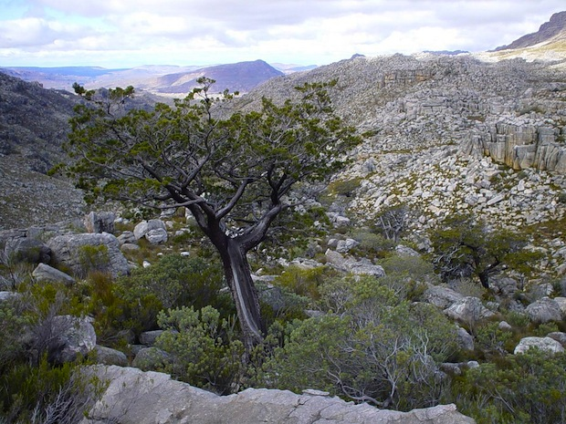 The Clanwilliam Cedar is found in a very small area in South Africa.