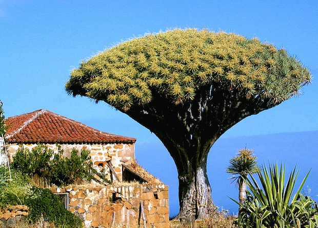 The Dragon Tree has a fascinating history, but lack of conservation efforts means it's rapidly declining.