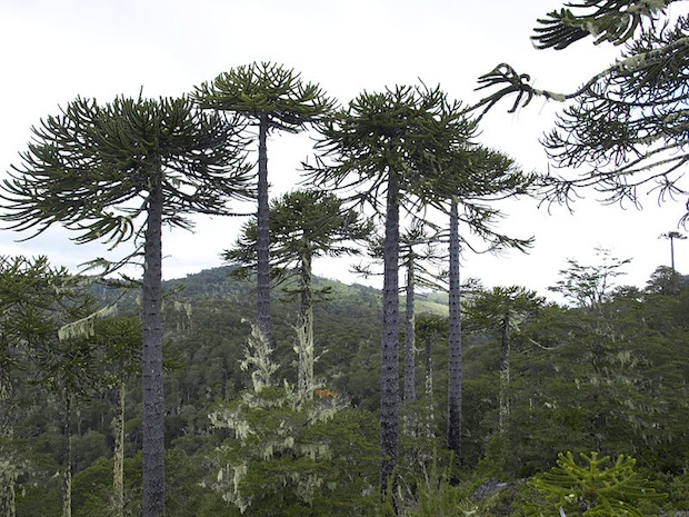 The South American Monkey Puzzle tree is sometimes referred to as a living fossil.