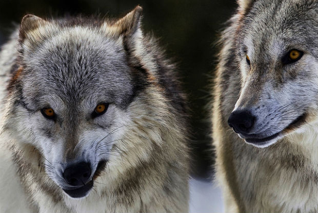 Alpha female Yellowstone National Park wolf killed