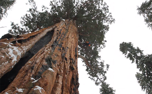 the president sequoia world's second largest tree