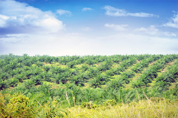palm oil plantation dr oz