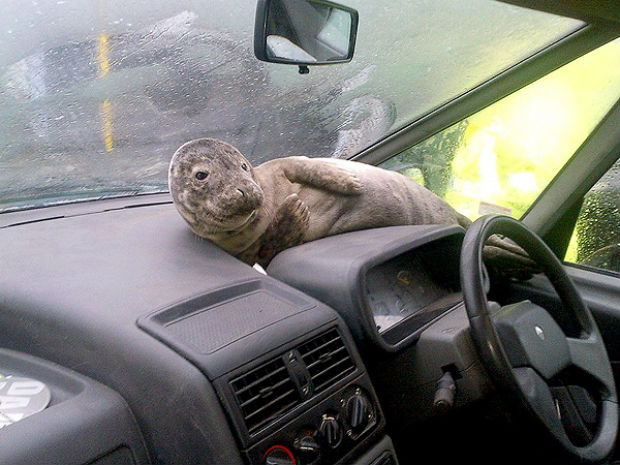 Seal pup finds shelter on car dashboard during Scotland storm