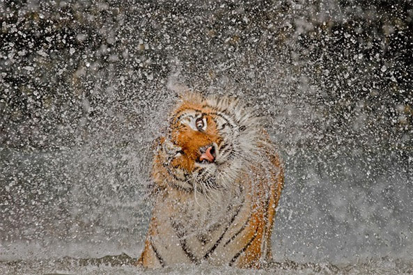 national geographic 2012 contest winner tigress