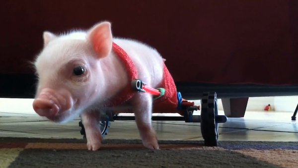 Chris P. Bacon was born without the use of his hind legs, so the piglet uses a wheelchair.