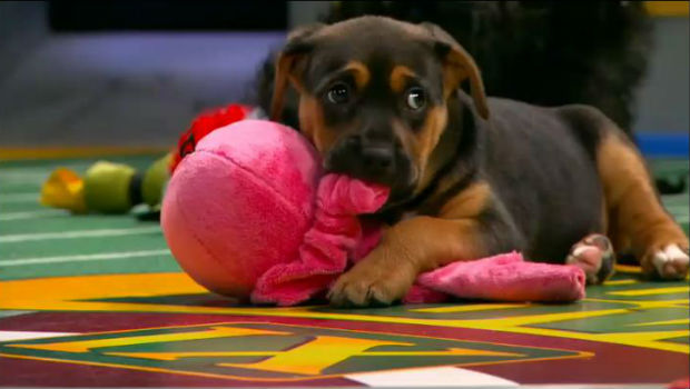 Animal Planet's Puppy Bowl 2013 airs Super Bowl Sunday