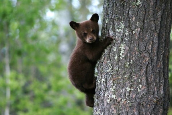 Michigan governor approves bear cub petting zoo bill that allows people to interact with live bears